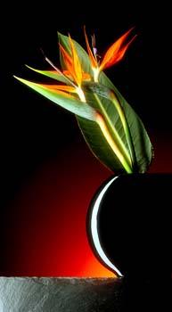Diese Aufnahme ist eine freie Arbeit von einer Papageienblume (Strelitzie).